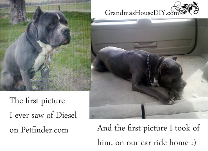 Proper introduction to my gray mastiff mix my big wonderful dog named Diesel