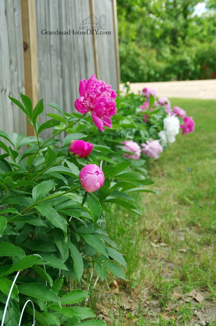 A peonies gallery of my gorgeous peony blooms, pink, white, magenta and other perennial flowers that my Grandma planted over the last fifty years!