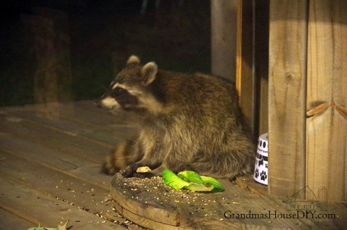 Night time visitors, feeding the raccoons, the squirrels and the pigeons, all are welcome on our farm