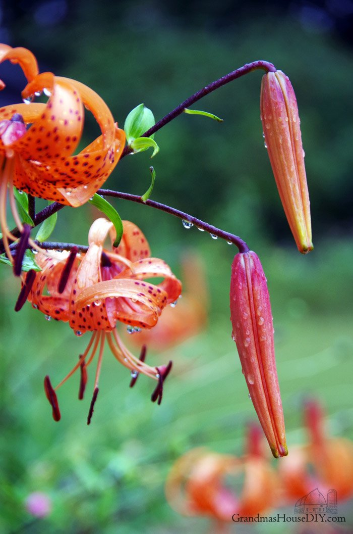 August photo gallery: Tad poles, Caterpillars & Tiger lilies during the dog days of summer as we wind down to fall on our farm in northern Minnesota