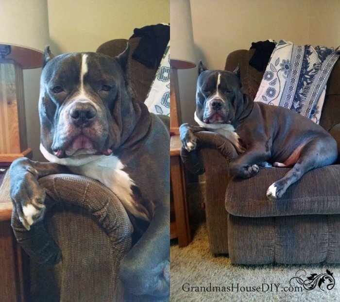 Proper introduction to my gray mastiff mix my big wonderful dog named Diesel