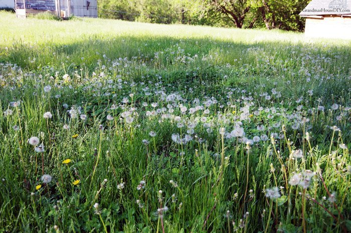 2019 spring photo gallery, garden, beats, lilacs, apple trees and blooms of dandelions on an old farm with a broken barn and old horses grazing
