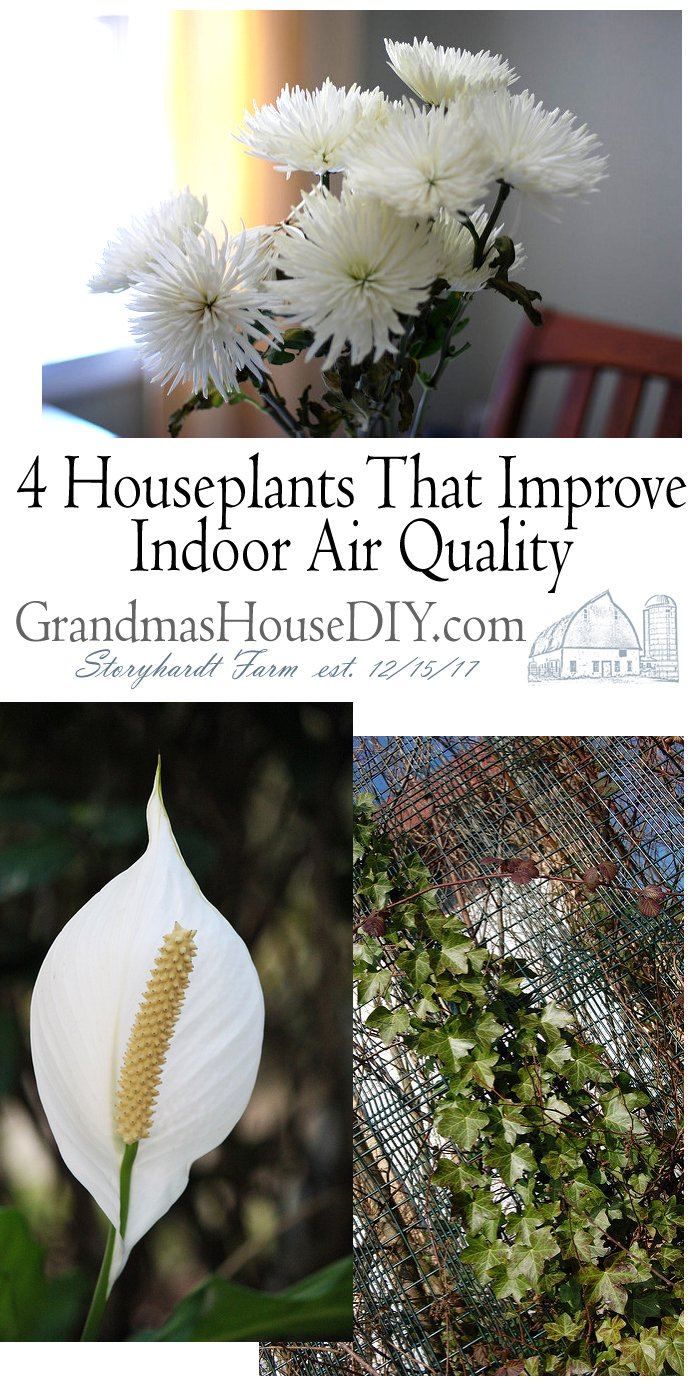 One Green Planet cites a NASA study that reveals several of the 4 best houseplants to remove improve indoor air quality removing formaldehyde, benzene, and trichloroethylene. The peace lily is not only elegant and pretty, but it is also great at removing harmful pollutants from the air.
