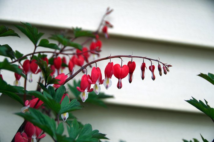 May 2020 was a far less freaky month for me than April was - I guess I adapted to the pace of quarantine. The farm here bleeding heart spring photo gallery