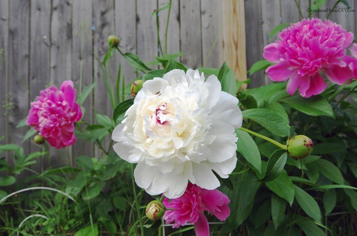 Summer vegetable garden and updates on the farm, eating dinner in the garden, blooming perenials of every kind and a ton of peony, peonies, blossom, bloom!